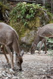 Wild deer. In mont tremblant, quebec, canada Stock Image