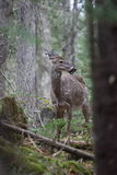 Wild deer. In mont tremblant, quebec, canada Royalty Free Stock Photos
