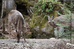 Wild deer. In mont tremblant, quebec, canada Stock Images