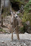 Wild deer. In mont tremblant, quebec, canada Stock Photography