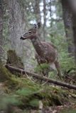 Wild deer. In mont tremblant, quebec, canada Royalty Free Stock Images