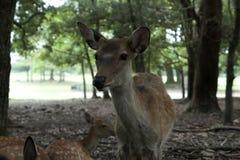 Wild deer. In Nara park Royalty Free Stock Photography