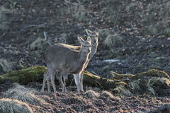 Wild Deer in Natural Habitat Stock Photography