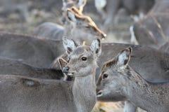 Wild Deer in Natural Habitat Royalty Free Stock Image