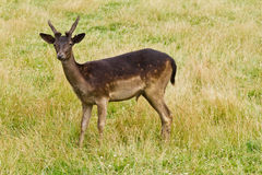 Wild deer in nature Royalty Free Stock Images
