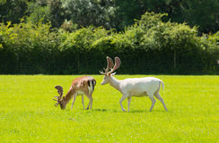 Wild deer the New Forest England UK Royalty Free Stock Photos