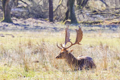 Wild deer in New Forest National Park Stock Image