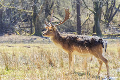 Wild deer in New Forest National Park Stock Photography