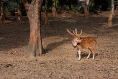 Wild deer in the old forest of Sarnath, India Stock Photo