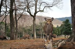 Wild deer in a park Royalty Free Stock Photos