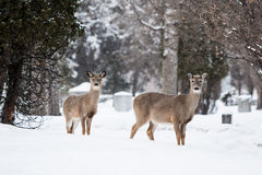 Wild Deer. In a park on a cold winter's day in Fargo, North Dakota, USA Stock Photos