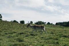 Wild Deer. This photo shows Wild Deer Stock Photography