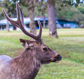 Wild deer Royalty Free Stock Photography