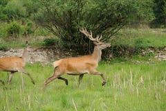 Wild deer. Wild red deer running in nature Stock Images