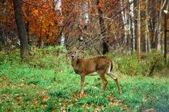 Wild Deer on Rib Mountain, WI Royalty Free Stock Image