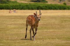 Wild Deer Royalty Free Stock Images