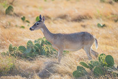 Wild Deer Stock Images