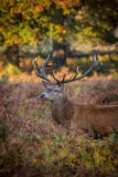 Wild Deer Stag, Morning Light. stock image