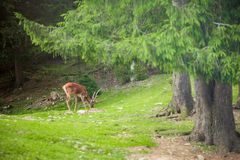 Wild deer Royalty Free Stock Photo