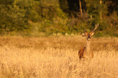 Wild deer at sunset Stock Photos
