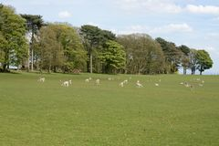 Wild deer. Deer at Tatton park, Knutsford, Cheshire, UK Royalty Free Stock Image