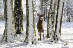 Wild deer between the trees, in the winter park with fresh snow. Wild deers between the trees, in the winter park with fresh snow, Germany Royalty Free Stock Image