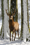 Wild deer between the trees, in the winter park with fresh snow. Germany Royalty Free Stock Images