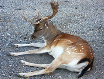 Wild deer with two straight horn Stock Images