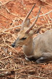 Wild deer with two straight horn is sitting Stock Photography