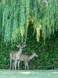 Wild deer under back yard willow tree Stock Images