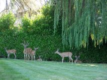Wild deer under back yard willow tree Stock Image