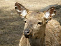 Wild deer. Royalty Free Stock Photo