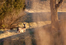 Wild deer visible through long grass Royalty Free Stock Images