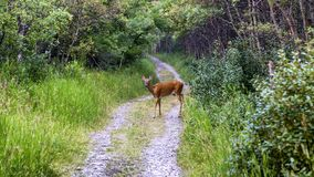 Wild deer. A wild deer is walking in the forest Royalty Free Stock Photo