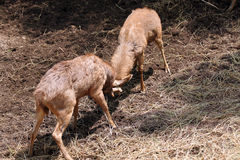 Wild deer were fighting to wrest area. Royalty Free Stock Photos
