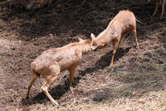 Wild deer were fighting to wrest area. Royalty Free Stock Photography