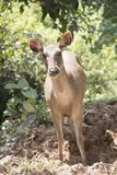 Wild deer in the wild. Is the background or wallpaper Stock Photos