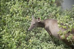 Wild deer in the wild. Is the background or wallpaper Royalty Free Stock Photos