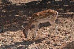 Wild deer Stock Photos