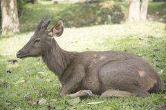 Wild deer in the wild. Is the background or wallpaper Royalty Free Stock Images