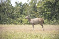 Wild deer in the wild. Is the background or wallpaper Stock Photography