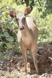 Wild deer in the wild. Is the background or wallpaper Royalty Free Stock Photo