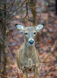 Wild Deer in the wilderness Royalty Free Stock Photo