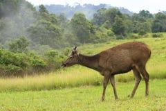 Wild Deer. Wildlifd Royalty Free Stock Photo