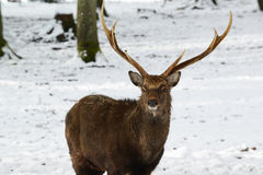 Wild deer in the winter park with fresh snow. Germany Stock Photography