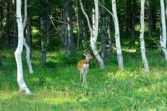 Wild deer in the woods. Wild deer called Ezo Shika in Shiretoko, Hokkaido Stock Photos