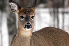 Wild Deer. A yearling deer out in the wild Stock Photo