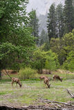 Wild deer in yosemite Royalty Free Stock Image