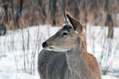 Wild deer. Royalty Free Stock Images