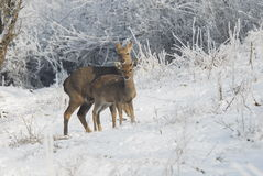Wild deers of china'northeast Royalty Free Stock Photography